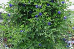 Butterfly-Pea-plant