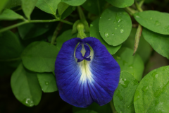 Flower-of-Butterfly-Pea