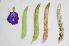 Flower-to-Pod-stages-of-Butterfly-Pea