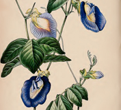 Plant-Illustration-of-Butterfly-Pea