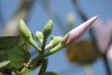 Flowering-buds-of-Butterfly-tree