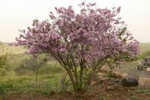 Butterfly-Tree-growing-wild