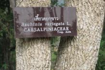 Trunk-of-Butterfly-Tree