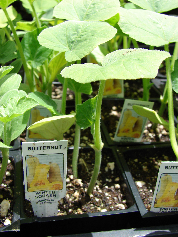 Butternut-squash-seedlings