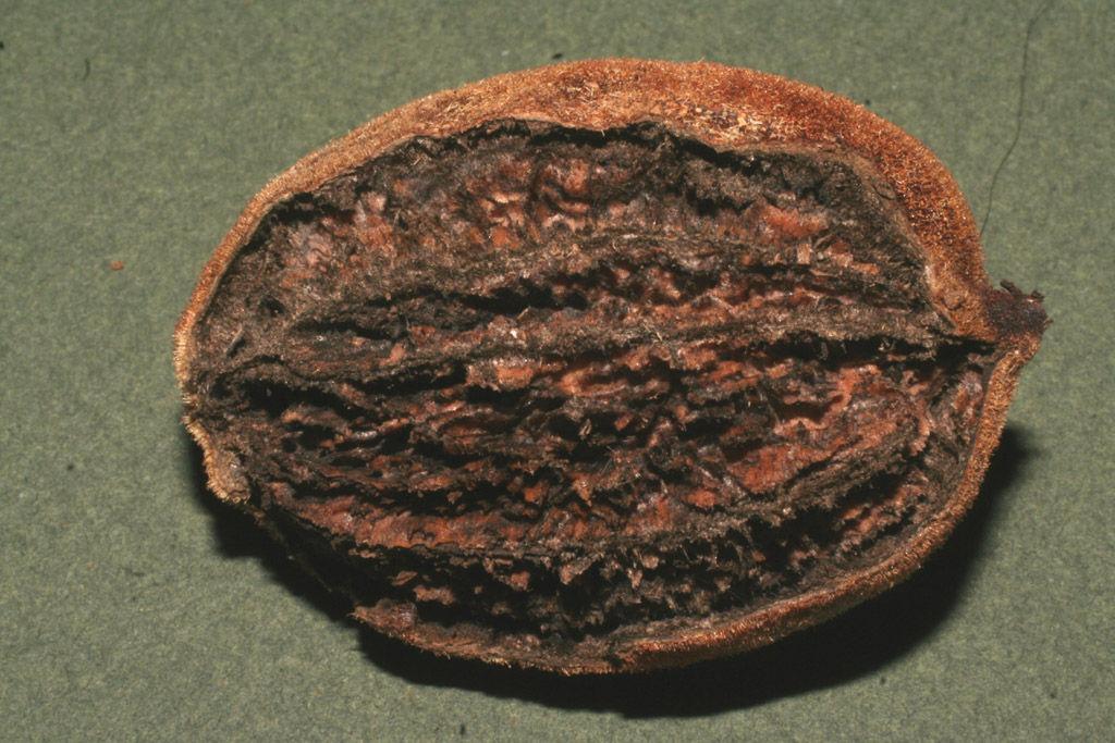 Butternut-nut