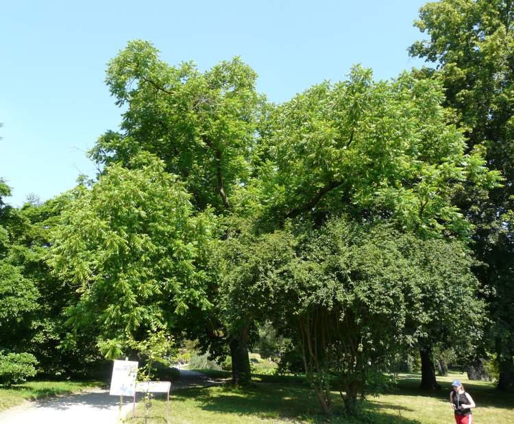 Butternut-tree