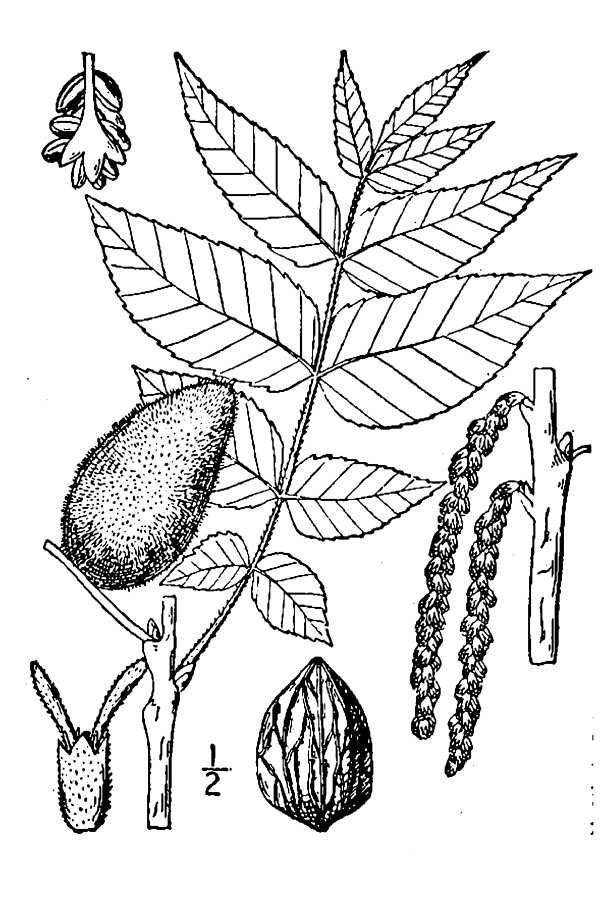 Drawing-of-Butternut