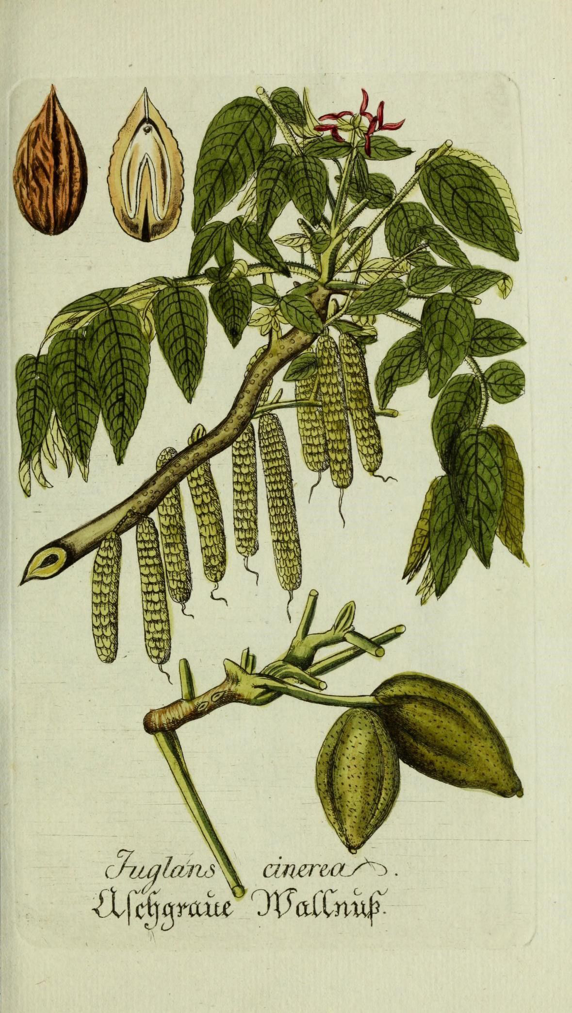 Illustration-of-Butternut