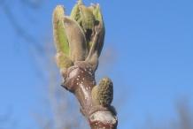Butternut-flower-bud