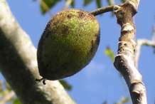 Butternut-fruit