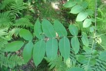 Butternut-leaves