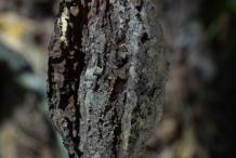 Butternut-seed