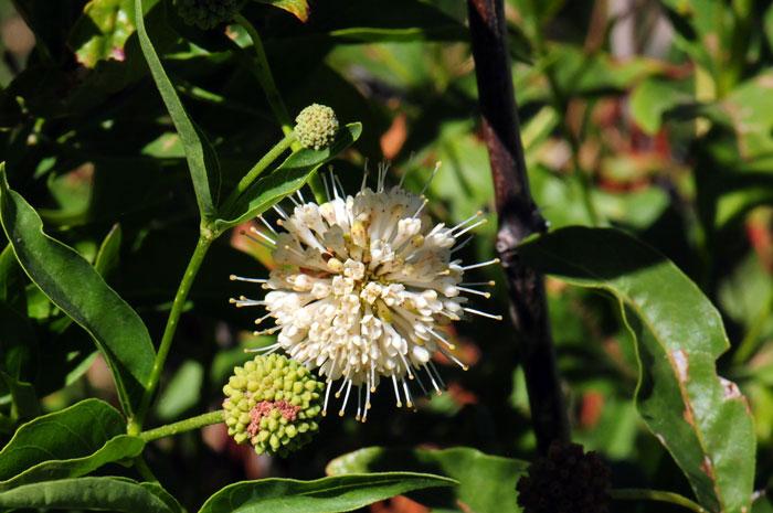 Common-Buttonbush-flower
