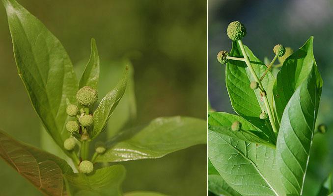 Emerging-flower-cluster-of-Buttonbush