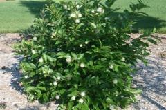 Buttonbush-plant