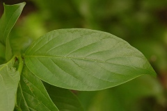 Leaves-of-Buttonbush