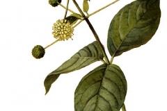 Plant-Illustration-of-Buttonbush