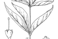 Sketch-of-Buttonbush