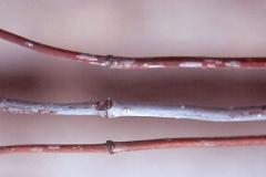 Winter-twigs-of-Buttonbush