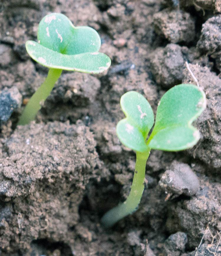 Cabbage-seedlings