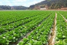Cabbage-farm