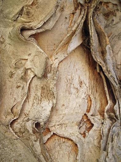 Bark-of-Cajeput-tree