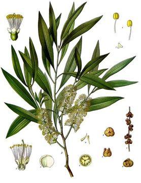 Plant-Illustration-of-Cajeput-plant