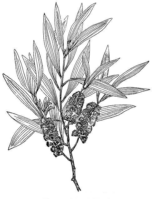 Sketch-of-Cajeput-plant