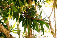 Leaves-of-Cajeput-tree