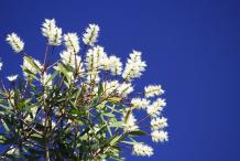 Cajeput-flowers
