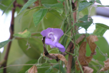 Flower-of-Calabar-Bean