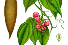 Plant-Illustration-of-Calabar-Bean