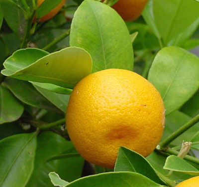 Calamondin-Fruit