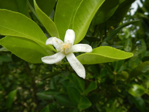 Flower-of-Calamondin