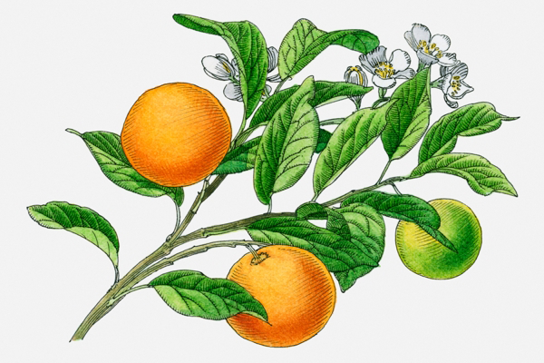 Plant-Illustration-of-Calamondin