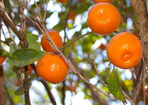 Ripe-Calamondin-fruit-on-the-tree