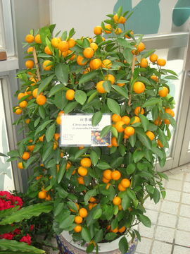 Small-fruiting-Calamondin-plant