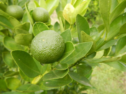 Unripe-Calamondin-Fruit-on-the-tree