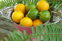 Calamondin-Fruits-on-the-pot