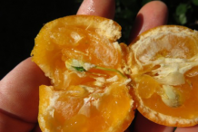 Flesh-of-Calamondin-fruit