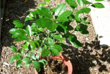 Small-Calamondin-plant