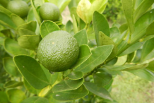 Unripe-Calamondin-Fruit-on-the-tree
