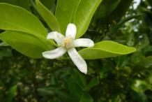 Flower-of-Calamondin
