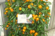 Small-fruiting-Calamondin-plant