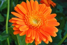 Calendula-close-up-flowers