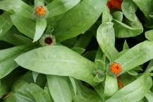 Calendula-leaves