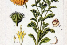 Calendula-plant-illustration