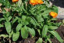 Calendula-plant