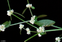 Flowers-of-Calico-plant