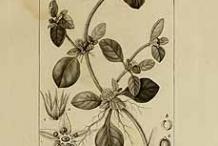 Plant-Illustration-of-Calico-plant